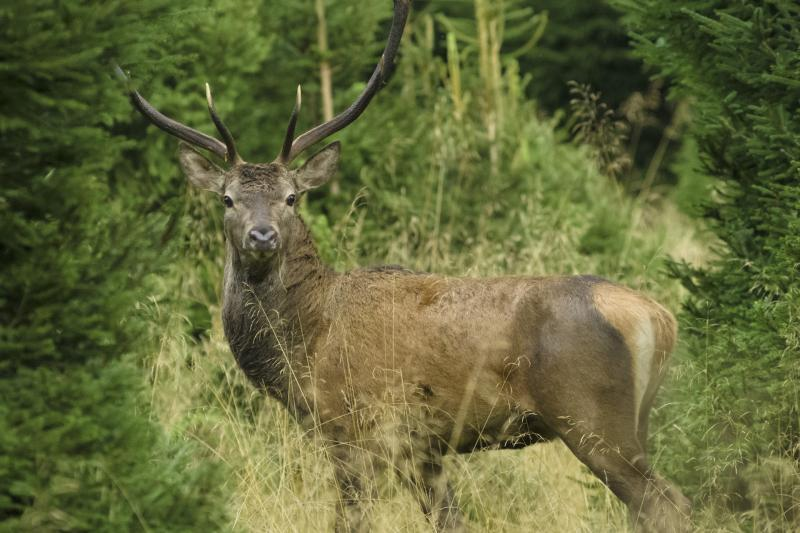 Bellowing deer in enchanting natural surroundings